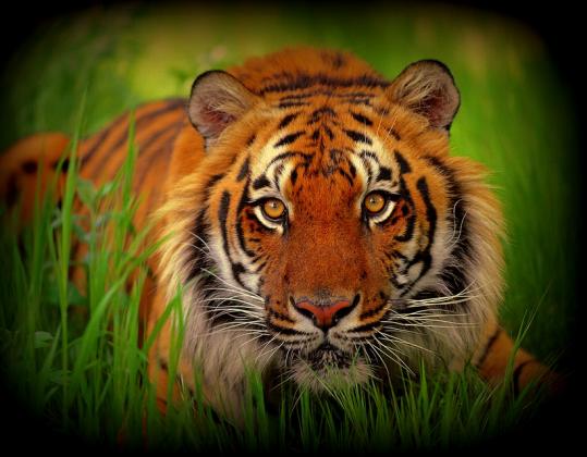 Tygrys - koszulka damska