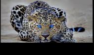 Czapka z oficjalnym tygrysem kanału