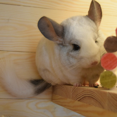 I Love Chinchillas